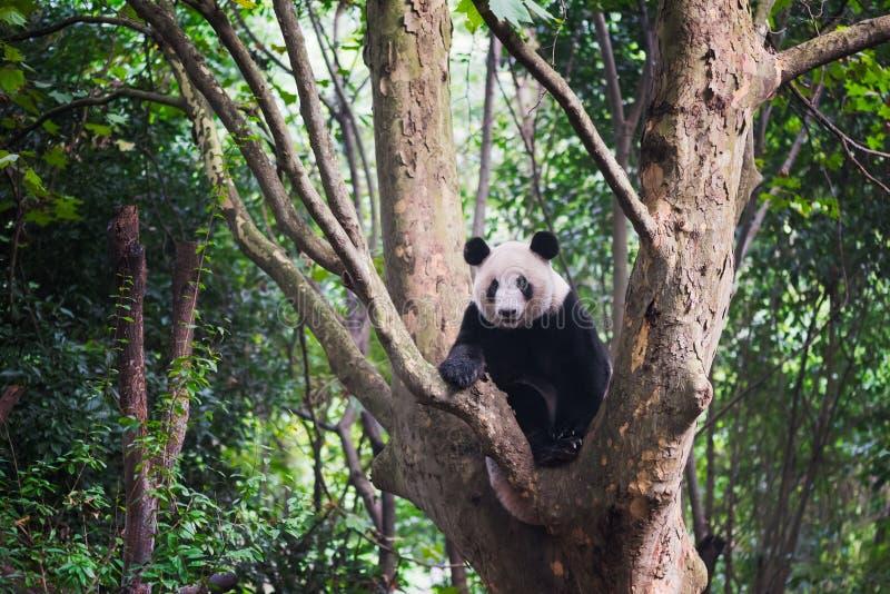 Download Гигантская панда сидя в дереве - Чэнду Стоковое Изображение - изображение насчитывающей вегетация, цвет: 81806391