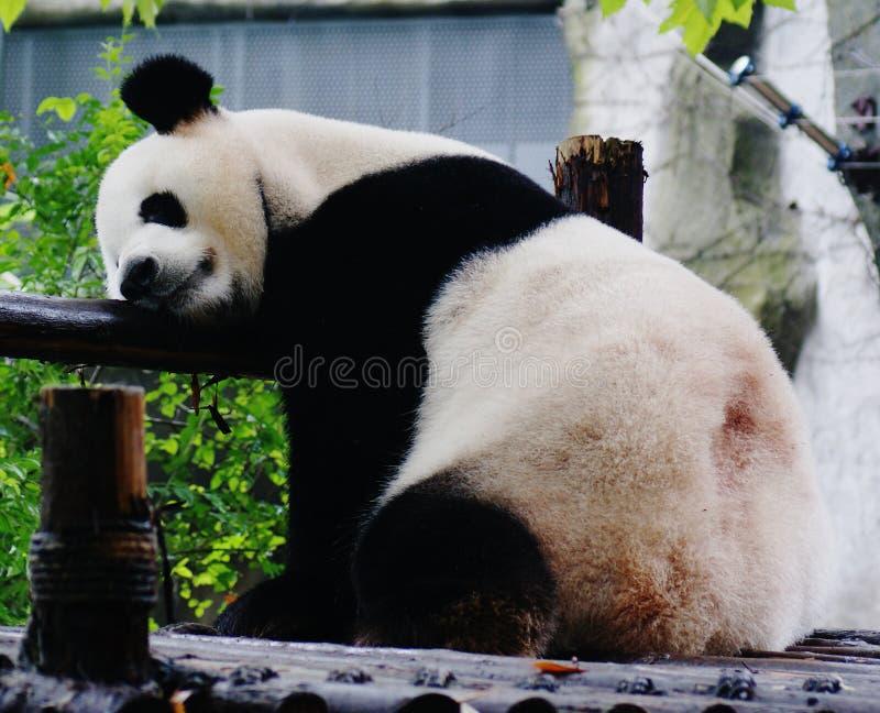 Гигантская панда упала уснувший стоковое изображение