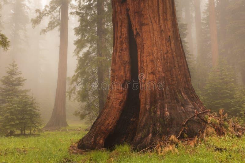 гигантская секвойя стоковое фото rf