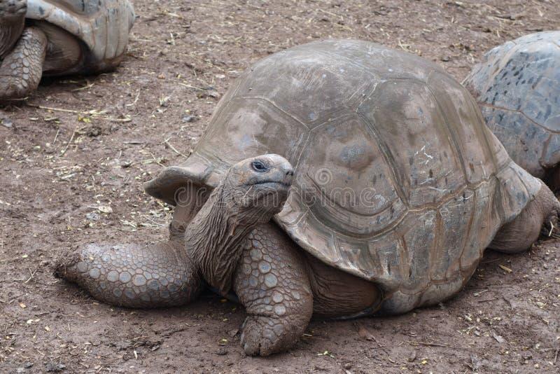 Гигантская черепаха на Маврикии стоковое изображение