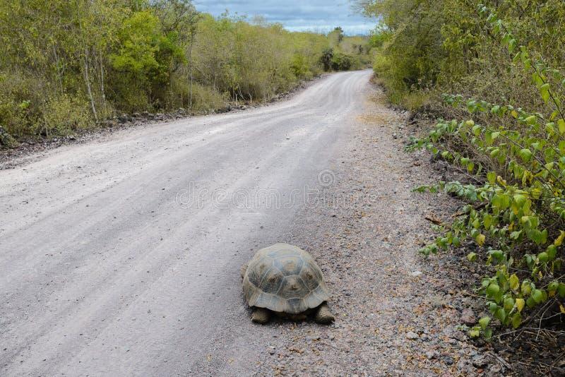Гигантская черепаха на дороге, остров Isabela, эквадор стоковые фото