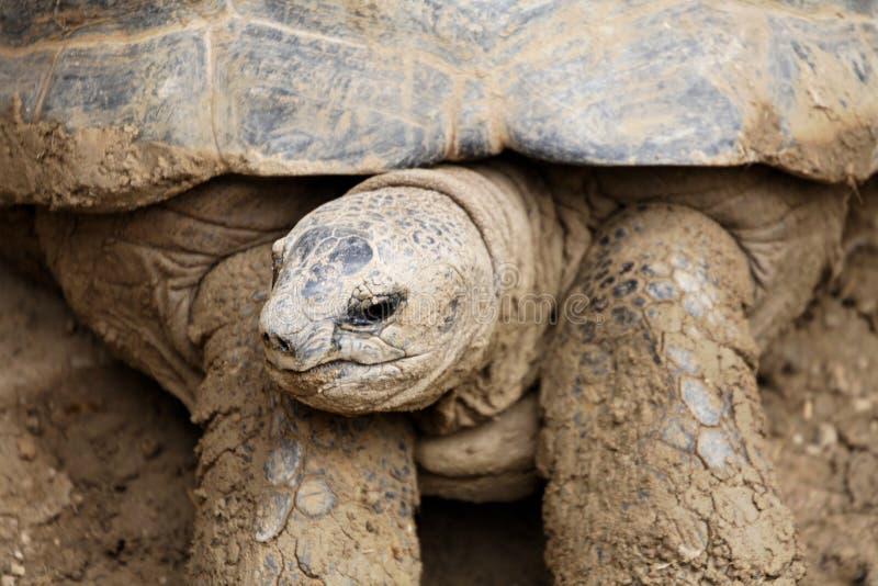 Download гигантская черепаха стоковое изображение. изображение насчитывающей wildlife - 1175715