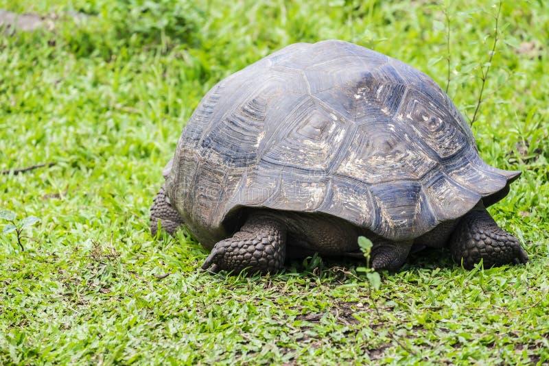 Гигантская черепаха Santa Cruz в островах Галапагос эквадоре 9 стоковая фотография