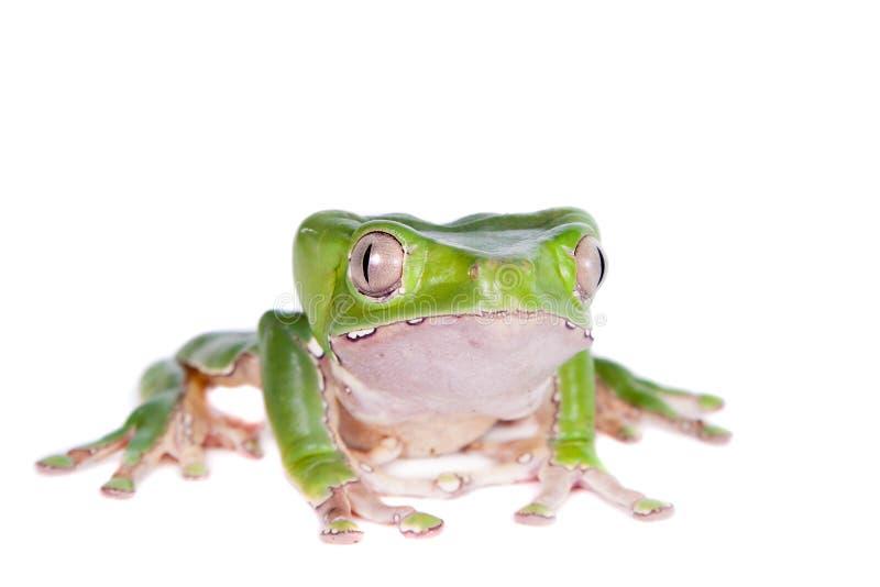 Гигантская лягушка лист на белой предпосылке стоковое фото