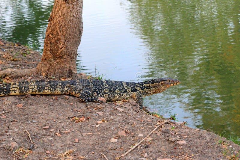 Гигантская ящерица идет к реке стоковое изображение rf