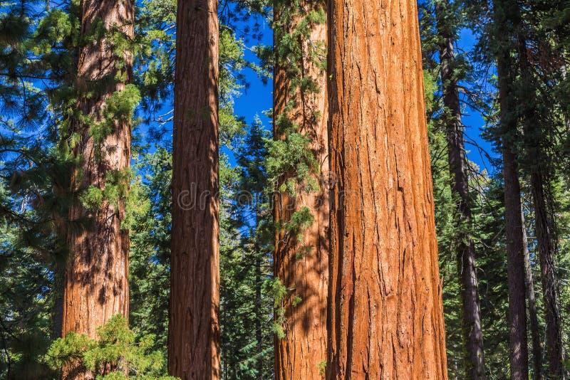 Гигантские деревья в национальном парке Yosemite стоковые фото