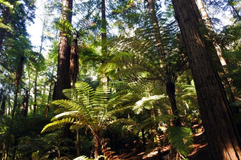 Гигантские леса redwood в острове Новой Зеландии Rotorua северном стоковые фото
