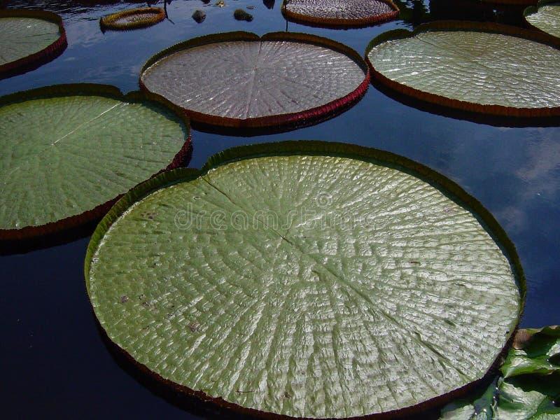 Гигантские зеленые пусковые площадки Lilly стоковая фотография rf