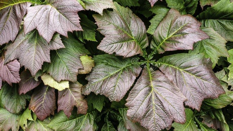 гигантские листья стоковые изображения rf