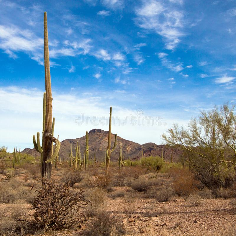 Гигантские кактусы Saguaro и другая вегетация пустыни внутри национального монумента кактуса трубы органа стоковые изображения rf