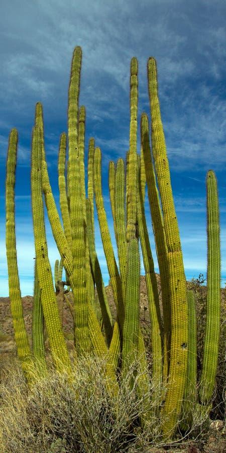 Гигантские кактусы Saguaro и другая вегетация пустыни внутри национального монумента кактуса трубы органа стоковое изображение