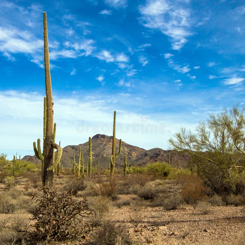 Гигантские кактусы Saguaro и другая вегетация пустыни внутри национального монумента кактуса трубы органа стоковая фотография
