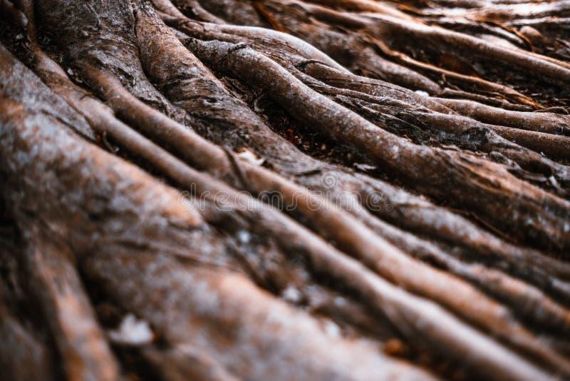 Гигантские корни тропического дерева в джунглях стоковые изображения rf