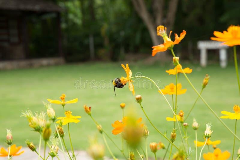 Гигантские работник пчелы и поле цветка космоса стоковое фото rf