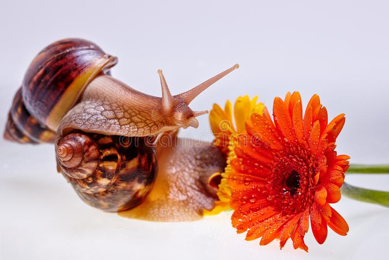 Гигантские улитка, цветок и ampules Achatina на белой предпосылке Концепция медицины и косметологии стоковое фото