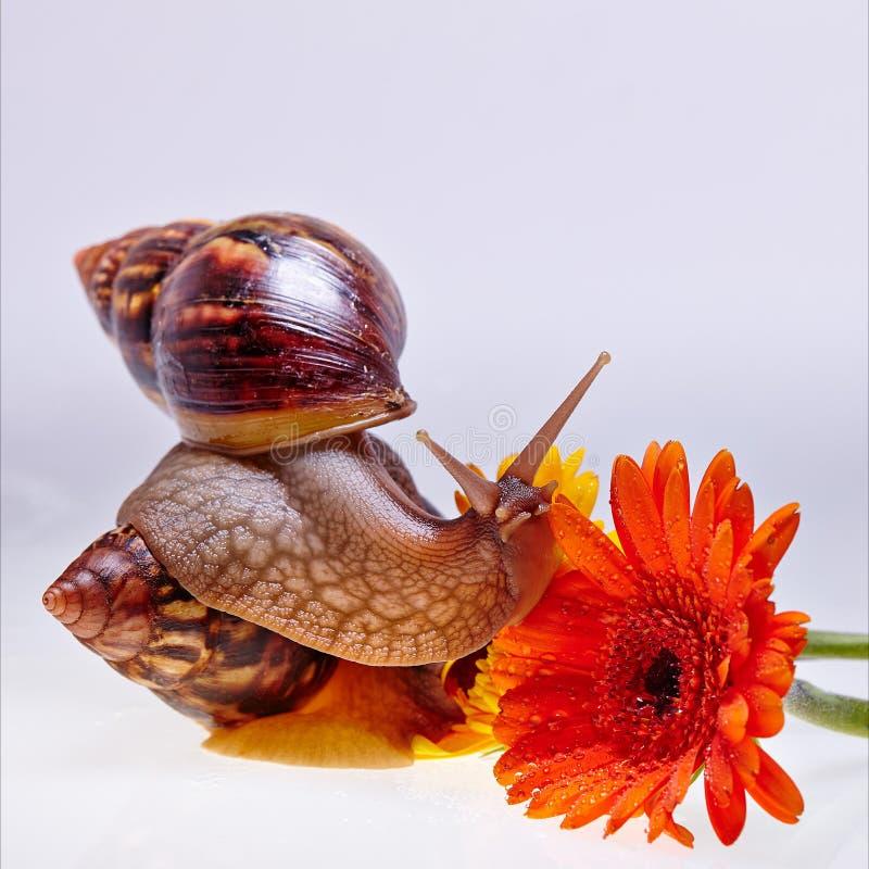 Гигантские улитка, цветок и ampules Achatina на белой предпосылке Концепция медицины и косметологии стоковые фотографии rf