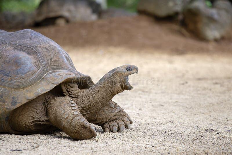 Гигантские черепахи, gigantea dipsochelys в тропическом острове Маврикии стоковые фотографии rf