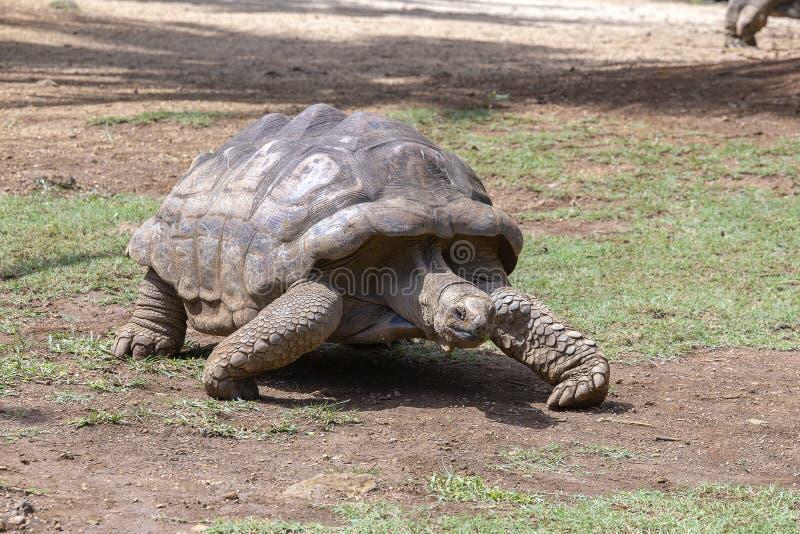 Гигантские черепахи, gigantea dipsochelys в тропическом острове Маврикии стоковое фото rf