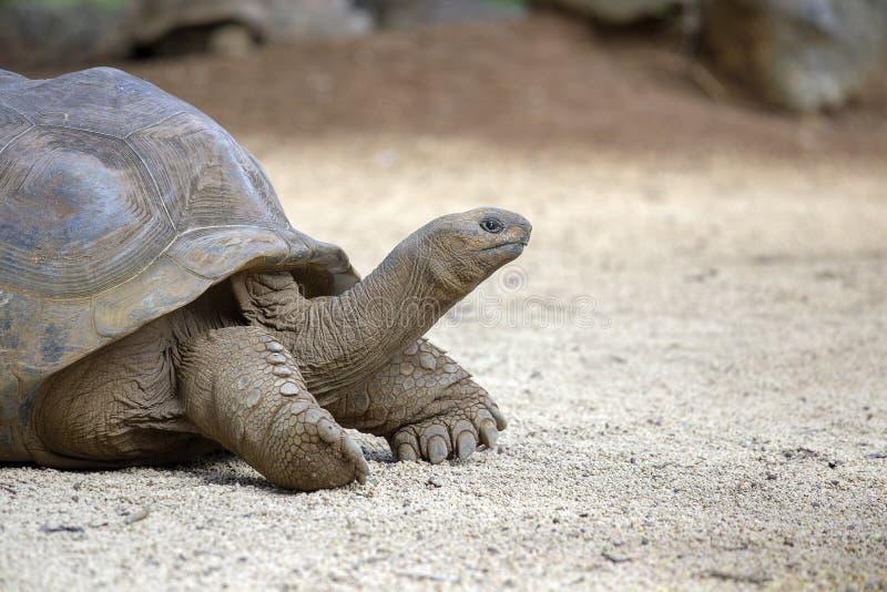Гигантские черепахи, gigantea dipsochelys в тропическом острове Маврикии стоковые изображения rf
