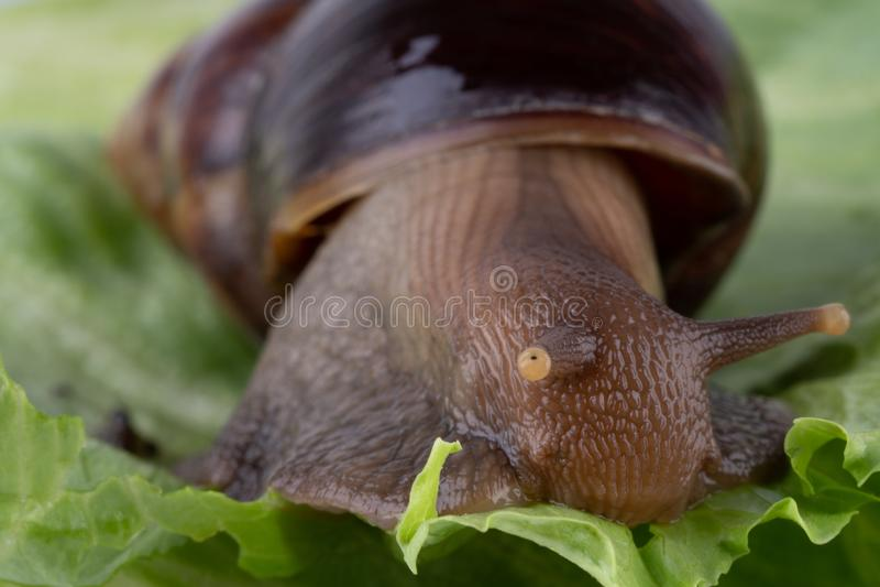 Гигантский африканский fulica Achatina улитки земли есть зеленый салат, макрос стоковые изображения rf