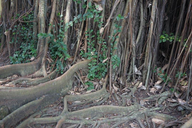 Гигантский большой корень подстенка стоковые изображения rf