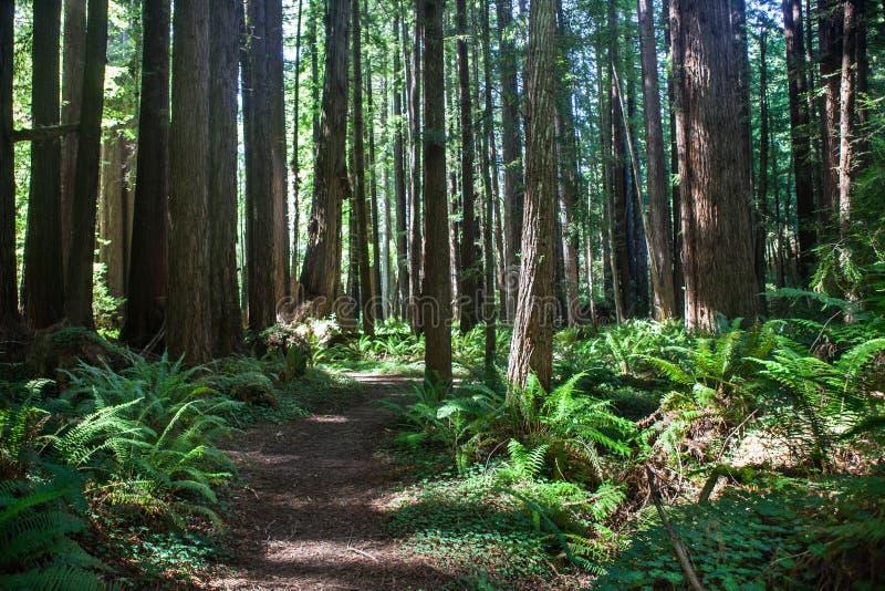 Гигантский лес Redwood стоковые фотографии rf