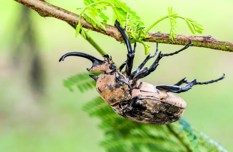 Гигантский жук на тонкой горизонтальной ветви дерева стоковое фото rf