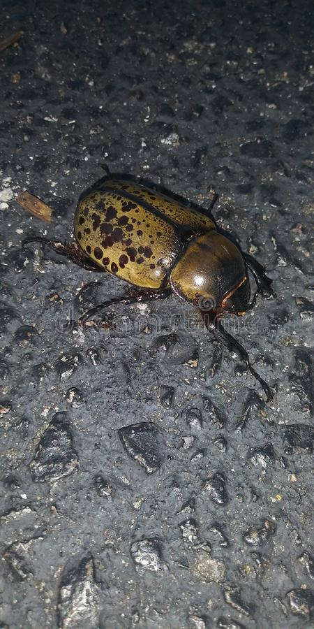 Гигантский жук стоковые фотографии rf