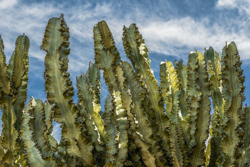 Гигантский кактус, предпосылка голубого неба стоковое фото rf