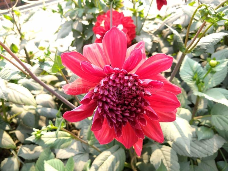 Гигантский красный цветок природы стоковое фото rf