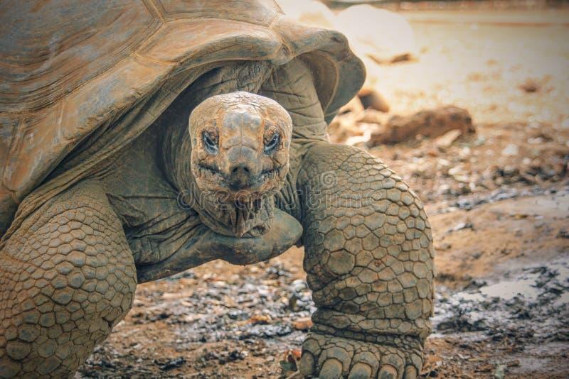 Гигантский крупный план черепахи стоковые фото