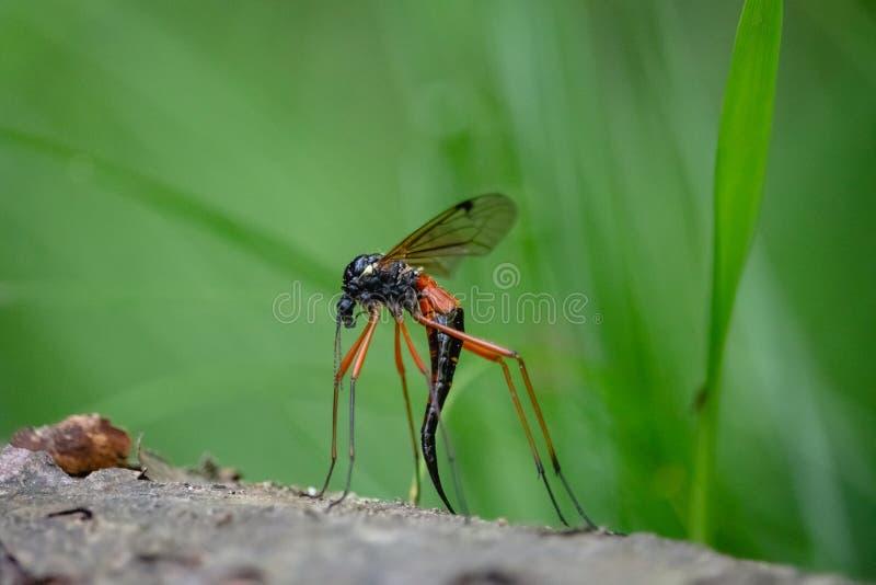 Гигантский рожок Cranefly гребня сабли с длинным черным яйцекладом стоковое изображение