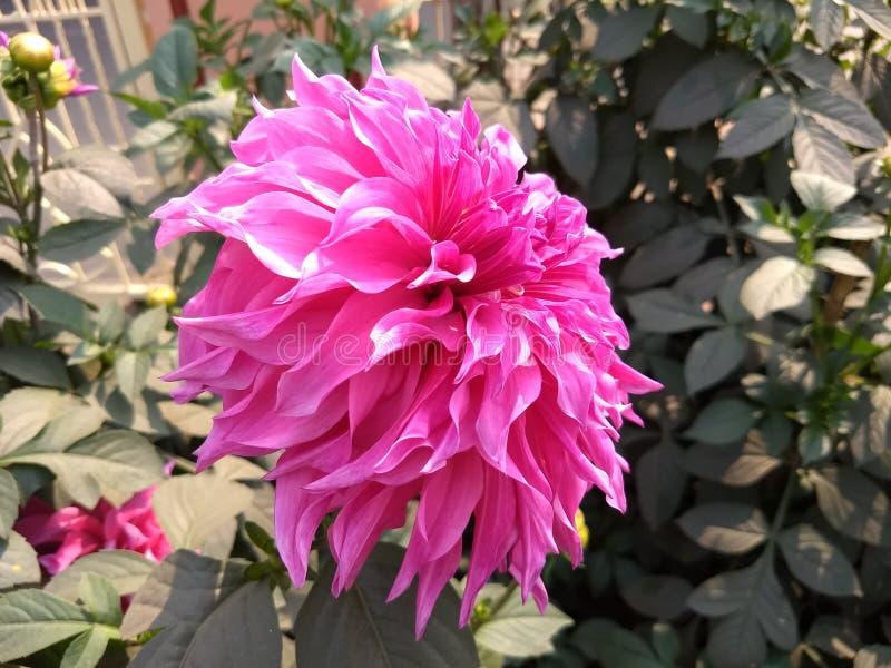 Гигантский розовый цветок природы стоковые фотографии rf