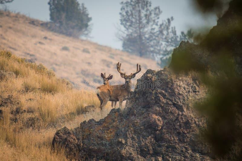 Гигантский самец оленя на холме стоковая фотография rf