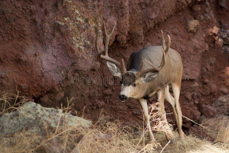Гигантский самец оленя перед утесом стоковое фото rf