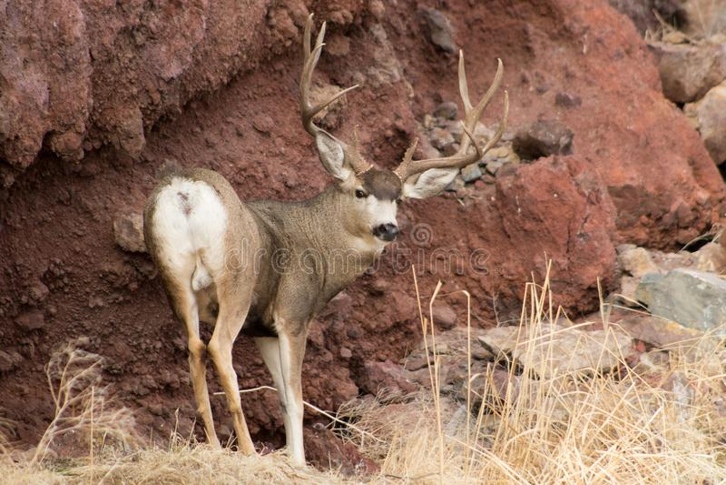 Гигантский самец оленя перед утесом стоковая фотография rf
