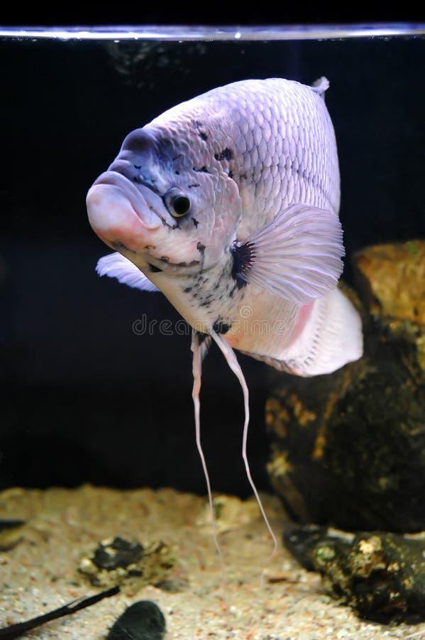 гигантский gourami стоковое фото rf