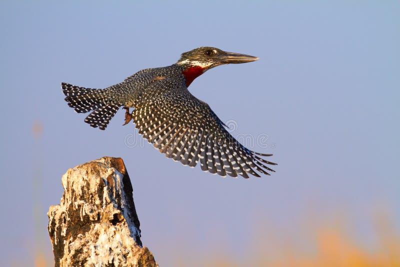 Гигантский Kingfisher стоковое фото rf