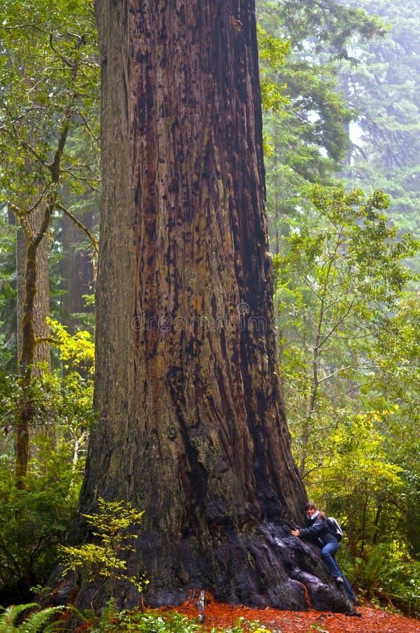 гигантский redwood hug девушки к пробовать стоковая фотография