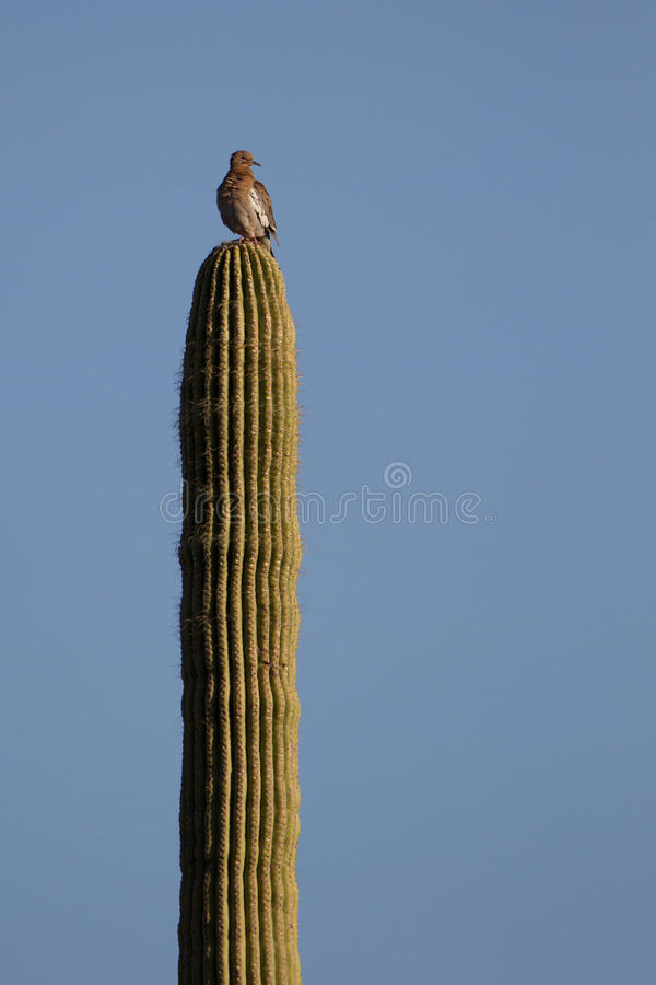 Гигантский Saguaro, gigantesco Saguaro стоковые изображения rf