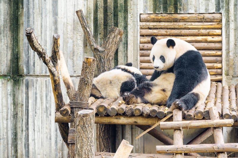 2 гигантских панды отдыхая после медведя панды завтрака мечтательного стоковое фото rf