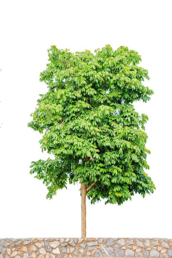Гигантское изолированное дерево иллюстрация вектора