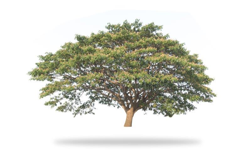 Гигантское изолированное дерево стоковое фото