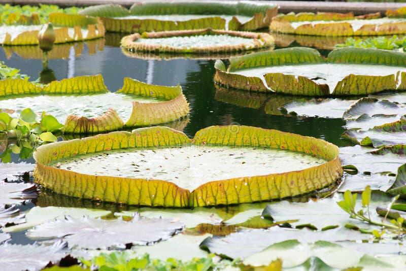 Гигантское cruziana Виктории лилии воды стоковые фотографии rf
