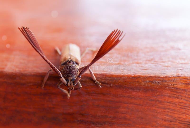 Гигантское fromfrom жука тропическая часть боливийского конца дождевого леса вверх, макрос Большой тропический вид жука стоковая фотография rf