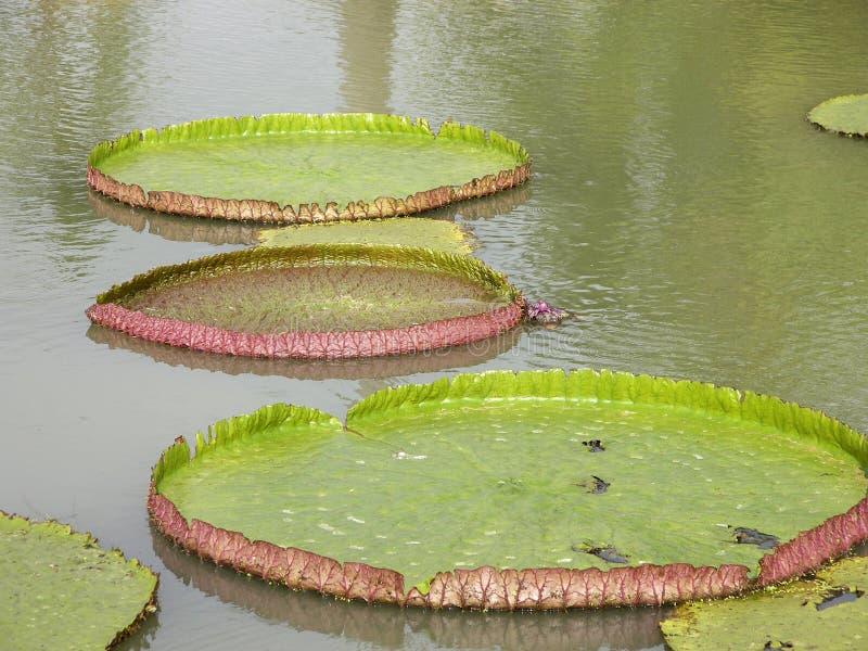 Гигантское regia Виктория лилий воды стоковое фото rf