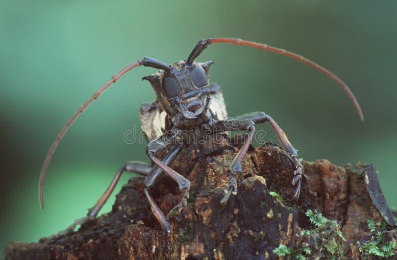 Download гигант жука стоковое изображение. изображение насчитывающей wildlife - 75043