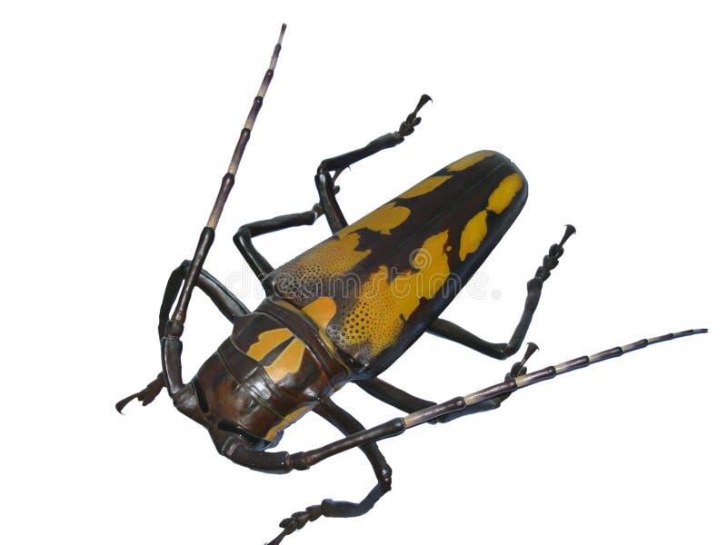 гигант жука стоковые фотографии rf