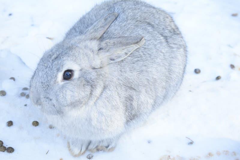 Гигант породы серый эти же крупноразмерные Вес взрослого животного 4-7 kg, но более часто индивидуалы на 5-6 фунтах стоковое фото rf