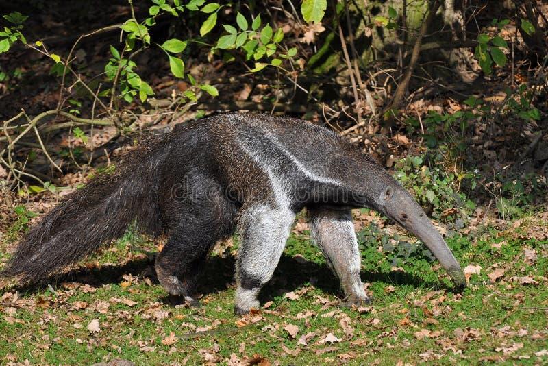 гигант anteater стоковое изображение rf